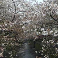 目黒川の写真・動画_image_324518