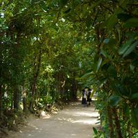 備瀬のフクギ並木の写真・動画_image_567222