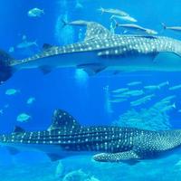 沖縄美ら海水族館の写真・動画_image_700049