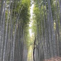 竹林の小径の写真・動画_image_797096