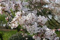 桜の名所の写真・動画_image_79966