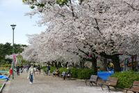 桜の名所の写真・動画_image_79993