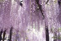 白井大町藤公園の写真・動画_image_137308
