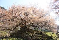 狗鷲桜の写真・動画_image_137309