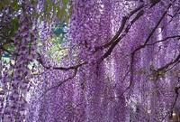 白井大町藤公園の写真・動画_image_137026