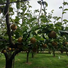 梨の伊藤園