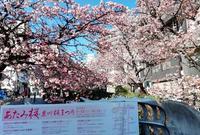 熱海桜の写真・動画_image_517900