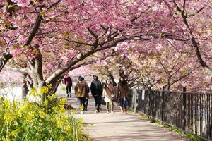 河津桜のトンネルと菜の花・温泉を満喫