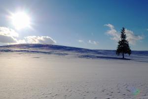駅から歩こう♪ 冬の美瑛お散歩コース(クリスマスツリーの木&新栄の丘)