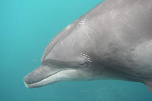野生のイルカと一緒に泳ぐドルフィンスイム/利島