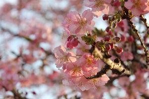河津桜がかわいい♡井の頭公園でお花見&フォトジェニックなスイーツを楽しむ