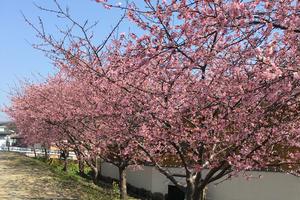 熱海・函南の桜めぐり