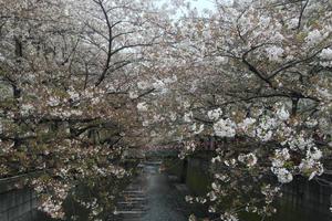 春は中目黒でお花見散策♡