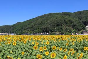 岡山 向日葵畑🌻