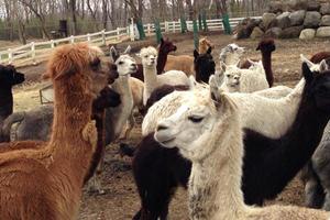 那須のアルパカ牧場と群馬伊香保温泉の旅