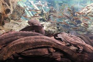 京都水族館でオオサンショウウオと向き合う