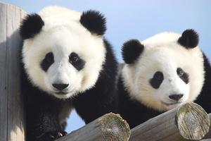 パンダ三昧!かわいい三昧!双子のパンダに癒される、暖か南紀でほっこりクリスマス♪