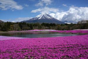 春爛漫🌸富士芝桜祭りと温泉お気楽ツアー🎵(日帰り)