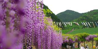 竹田城跡近辺にある山陰一の藤の花が咲く公園