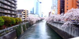 目黒川、桜の季節