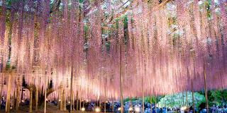 GWの写真撮影なら芝桜と夜藤を満喫コース
