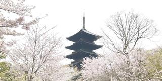 桜の京都🌸駆け足旅。
