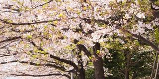 築地グルメと終わりがけの桜を楽しむ築地散歩
