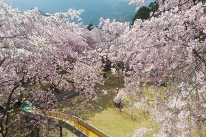 【春の観光におすすめ!川根にお花見に来ませんか?】大井川上流、川根本町周辺のお花見スポット!