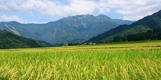 【田舎暮らしに憧れて】日本一の米どころ南魚沼市で稲刈り体験