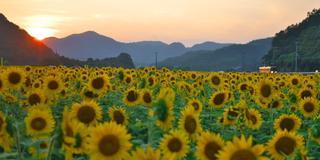 関西最大級の南光ひまわり畑を見に行こう!