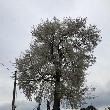 平家一本桜