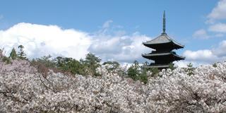 今度こそ行きたい!京都の桜5選