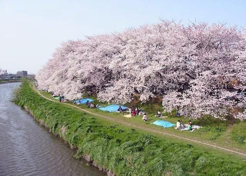 越谷・川口 桜ウォーカー