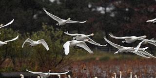 大人が楽しむ!新潟秋の秘湯と渡り鳥観察の旅