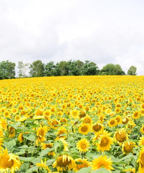 黄色の楽園~ひまわりの里 北竜町~