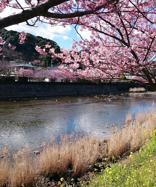 伊東温泉と河津桜祭り