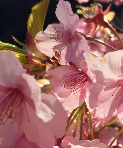 河津桜🌸満開