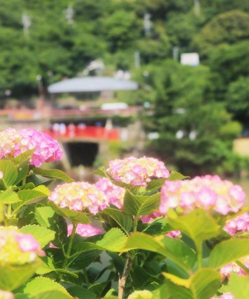愛犬と紫陽花祭りから菖蒲祭りまで