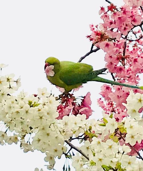 東京上野花見さんぽ