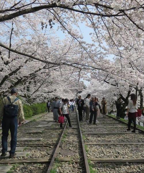 岡崎エリア桜&カフェ巡り