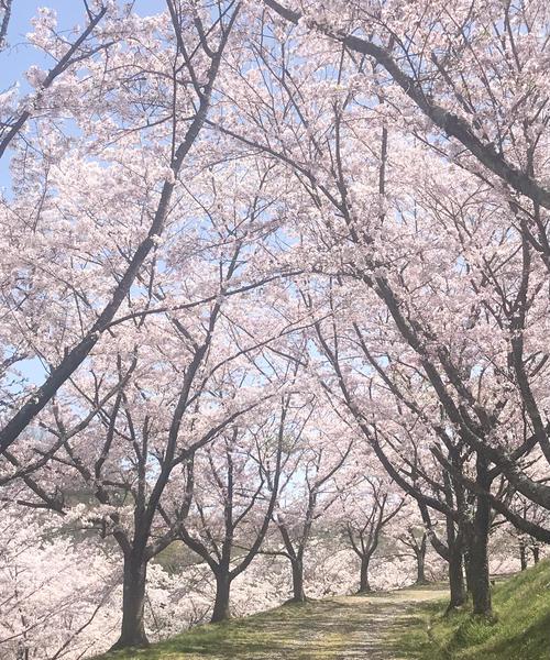 岐阜の満開な桜を満喫しよう!