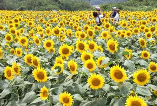 夏の向日葵🌻ハンター💘