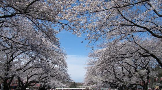 春はやっぱり桜!