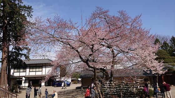 こちらが樹齢300年のひがん桜
