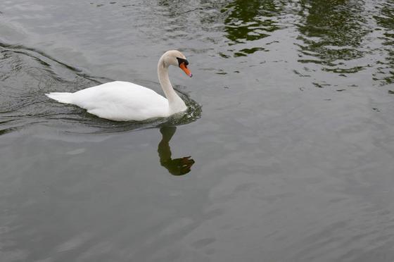 池には巨鯉と白鳥がスイスイ
