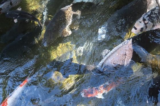 水路の巨鯉