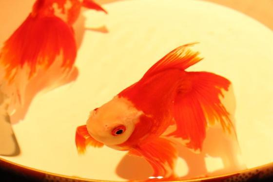 のんびり泳ぐ金魚を見てると癒されます😚