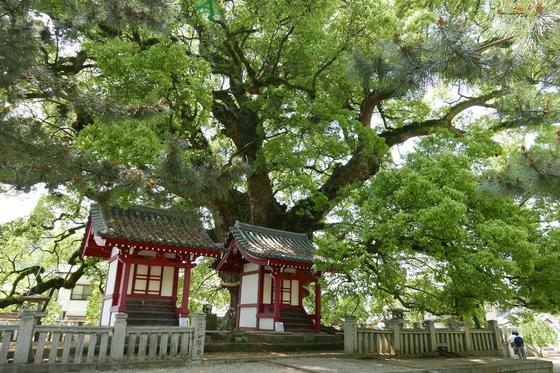 天然記念物の巨大楠