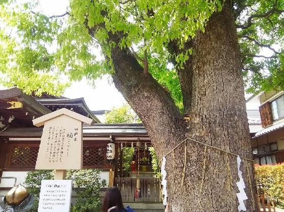楠のご神木