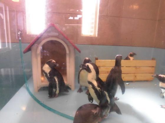 本物のペンギン